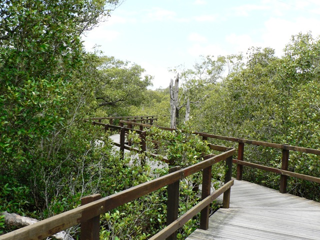 Board walk among mangroves